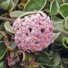 Indoor House plant - Variegated Hindu Rope (Hoya carnosa 'Crispa Variegata')