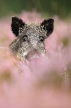 Wild boar being pink and pretty