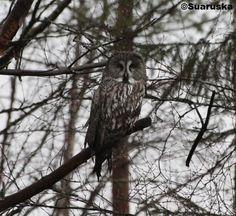 Lapinpöllö Owls, Bird, Animals, Animales, Animaux, Birds, Owl, Animal, Animais