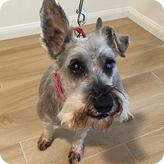 Redondo Beach, CA - Schnauzer (Miniature). Meet Frankie, a dog for adoption. http://www.adoptapet.com/pet/14975223-redondo-beach-california-schnauzer-miniature