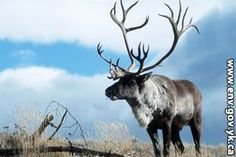 The five sub species of caribou and how to hunt them.