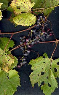 Lindsey's Luscious: Wild Grapes and wild grape jam