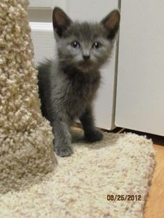 Munch has been adopted!  For more kitties needing homes go to: www.orphankittenrescue.com
