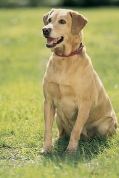 "Although a Labrador retriever might seem just like a Labrador retriever to you, the breed is frequently divided into two distinct varieties, English and American. Unlike American Labrador retrievers, the furry English counterparts' heritage starts with dogs produced in the United Kingdom. Several key differences exist between American and English Labs. English Labs are frequently referred to as ""show"" Labs, while American ones are often called ""field"" Labs."