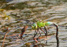 https://flic.kr/p/oc41VC | Emperor Dragonfly female(Anax imperator) | Oviposturing Arne Dorset