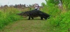 Vídeo de un enorme cocodrilo cruzando un sendero de Florida se...