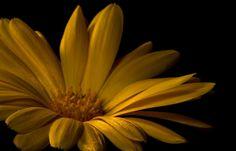 Flor de veludo