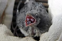 Crested Coua chick