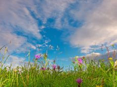 Myland meadow, Colchester, with high cirrocumulus, and knapweed (Centaurea nigra) in flower. Saw Series, Environmental Art, Image Collection, Photo Book, Etsy Store, My Photos, Fine Art, Flowers, Photography