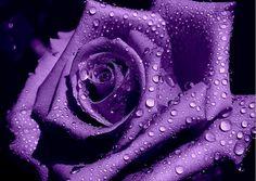 purple rose by konnarak, via Flickr