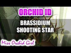 Brassidium Shooting Star - Spider Orchid in bloom - YouTube