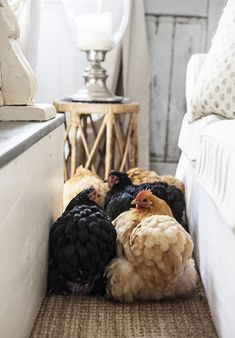 House chickens
