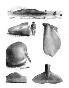 cachalote, physeter macrosephalus