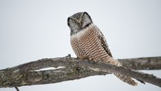 Northern-Hawk-Owl-4.jpg 7,360×4,160 pixels