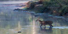 deer crosses river