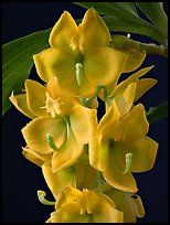 Cycnoches herenhusanum. A species orchid ( color)