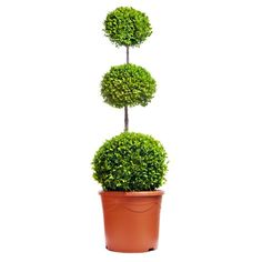 Trio Ball on stem |  90-100cm |  Grown in pot |  9 Years Old €79.95
