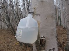 Homemade Alaska: Birch Sap - Tap With a   Plan  University of Alaska PDF for birch brews:  http://www.uaf.edu/files/snras/MP_04_02.pdf