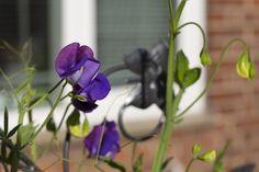 Sweet pea flowers also in purple now | par jpskoubo2016