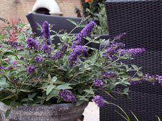 Buddleja free petite, in mooie pot op terras, juni-oktober