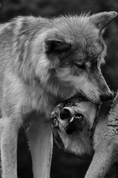 Wolf Husky, Wolf Pup, Wolf Photos, Wolf Pictures, Coyotes, Thor, Wolf Love, She Wolf, Wild Wolf