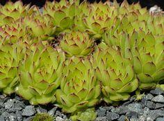Sempervivum armenum