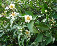 Camelia Sinensis is the species of plant whose leaf bud and leafs are used to produce tea. It is also called the tea plant.
