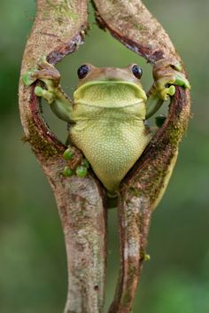 There's something quite funny about this froggy pose, like he's parting the curtains or something.