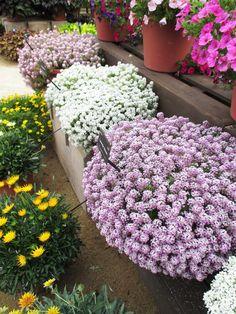 Цветы алиссум : всё, что нужно знать о посадке, выращивании и уходе 50+ фото http://happymodern.ru/alyssum-foto/ Шикарные пышные кусты разных расцветок