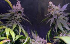 Pro Grow LED PGX5-600: Jock Horror - Week 7 Bloom | Growing Medical Marijuana