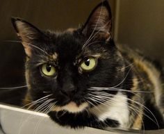 Name: Nellie Age: 7 years old Breed: DSH Tortoiseshell How I Arrived At NHS: I was surrendered with my housemate Honey because our owner passed away. Note From An NHS Volunteer: Nellie is a bit of a wallflower-she prefers to take it all in before diving into new situations. That being said, she doesn't miss a thing! She's very alert and smart, and does enjoy being pet and loved on.