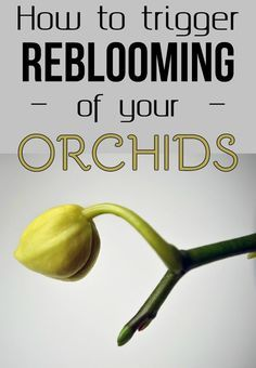 How To Trigger Reblooming Of Your Orchids Gardaholic net is part of Orchids garden - Learn how to trigger reblooming of your orchids Indoor Orchids, Orchids Garden, Orchid Plants, Garden Plants, Indoor Plants, House Plants, Orchid Repotting, Orchid Propagation, Orchid Flowers