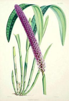 Walter Hood Fitch - Arpophyllum giganteum