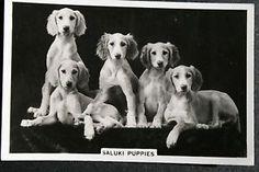 SALUKI-PUPPIES-1930s-Original-Vintage-Photo-Card-VGC