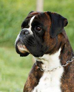 """Exceptional """"boxer pups"""" information is readily available on our web pages. Have… - Hunde Boxer Dogs Facts, Dog Facts, Boxer Puppies, Dogs And Puppies, Brindle Boxer, Boxer Breed, Boxer And Baby, Boxer Love, Beautiful Dogs"""
