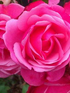 Roses At Flatford Mill Suffolk Uk Carol Pink Stuff And Things