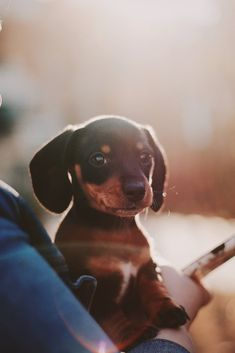 10 Things To Ask Before Adopting a Dachshund. Have you considered Dachshund rescue centers or shelters before going to a dog breeder? So many doxies need homes that are still quite young. Brown Puppies, Tiny Puppies, Best Puppies, Cute Puppies, Poodle Puppies, Adorable Dogs, Adorable Animals, Puppy Pictures, Dog Photos