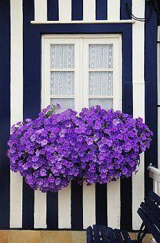 ventana costa nova portugal stripes black and white purple flowers Jardin Decor, Windows, All Things Purple, Window Boxes, Flower Boxes, Shades Of Purple, Light Purple, Dark Purple, Purple Flowers