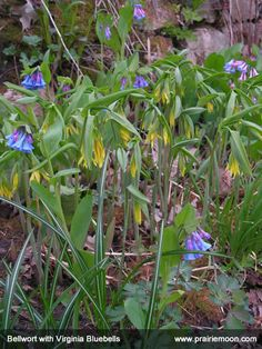 Mertensia-virginica-Virginia-Bluebells-with-Uvularia-grandiflora-Bellwort