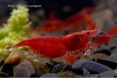 2.50 € . Neocaridina heteropoda - Red Fire  #floraquatic