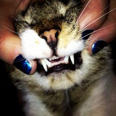 cat teeth are just about the cutest thing in the world. not their fangs, their itty bitty microbite teeth!