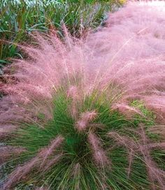 Cotton Candy Grass - Withstands heat, humidity, poor soil, and drought. Very easy to grow, 3-4 feet tall and 3-4 feet wide. Grows in all U.S zones.