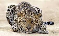 Resultado de imagen para felinos de africa