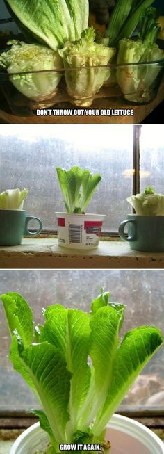 Buy organic Romaine. Then when you chop up the lettuce for salad, hang on to the very bottom/heart/stump. Leave a few inches from the bottom of the heart and place in a container of water. With a little time, it will eventually sprout a whole new head of lettuce, ready to harvest, eat, and repeat the process. Change the water daily and keep in sunlight. Peel off the outer leaves to eat. http://lifehacker.com/5992390/regrow-fresh-heads-of-romaine-lettuce-from-chopped-down-lettuce-hearts