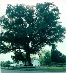 Wye Oak, Talbot County, Maryland... gone now destroyed in a storm