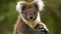 Koala - Australia www. Cute Baby Animals, Funny Animals, Wild Animals, Baby Platypus, Melbourne Zoo, Melbourne Australia, Happy Australia Day, Australia Trip, Perth