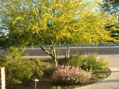 Native Plant Landscaping: The Palo Verdes Blue Palo Verde, drought tolerant tree for shade in the fr Drought Tolerant Trees, Drought Resistant Landscaping, Landscape Borders, Landscape Design, Garden Design, Trees For Front Yard, Front Yards, Desert Trees, California Native Plants