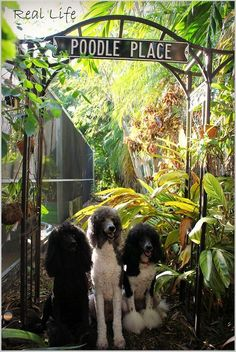 """Yep,this is""""our place"""" says the SpooCrew 10/12 by SpooAddicts & the SpooCrew on Flickr. #Poodle"""