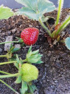 Balcony Garden, Strawberry, Fruit, Food, Essen, Strawberry Fruit, Meals, Balcony Gardening, Strawberries