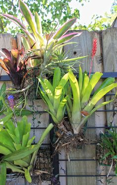 Turn suet basket feeders into a vertical garden of bromeliads and orchids!